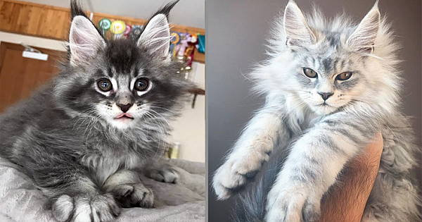 20 Of The Cutest Maine Coon Kittens – The Gentle Giants, Waiting To Grow Up
