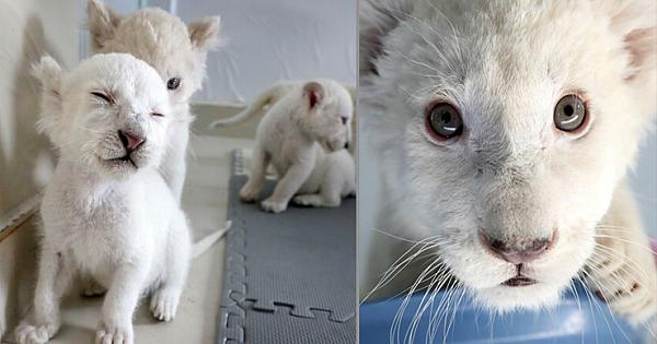 Extremely Rare White Lion Quadruplets Are Born Perfectly Healthy