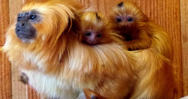 Golden Lion Tamarin Twins Born At Atlanta Zoo: 'Two Especially Important Births'