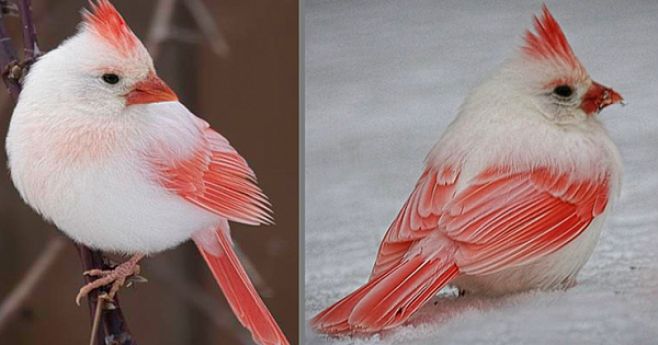 Once-In-A-Lifetime Rare White Cardinal Spotted In Backyard
