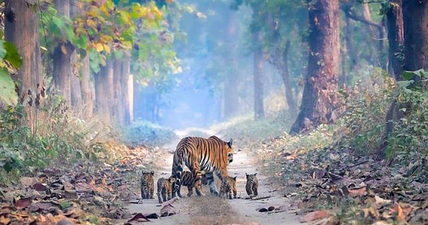 Stunning Photo Of Tigress Walking With Her Cubs Highlights Indias Rising Tiger Population