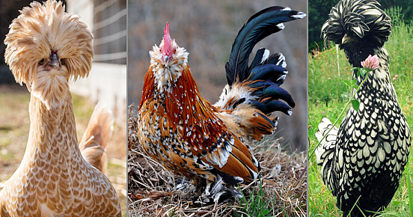 The Top 16 Chicken Breeds for Your Backyard Flock