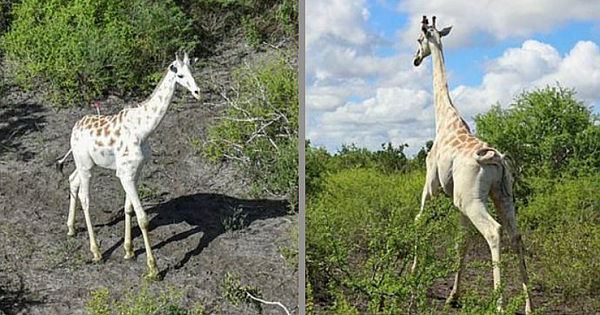 World's Only White Giraffe Fitted With GPS To Deter Poachers