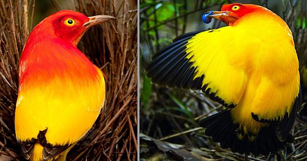 Flame Bowerbird, A Stunning Bird With Crimson And Vibrant Orange Plumage