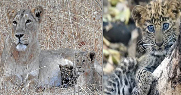 Lioness Momma Adopts Sick Baby Leopard And Raises As Her Own