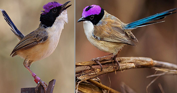Meet The Purple-Crowned Fairy-Wren, The Most Faithful Of All The Fairy-Wrens (7 Pics)