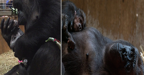 Mother Gorilla Kissing And Cradling Her Newborn Baby Is Adorable (Video)