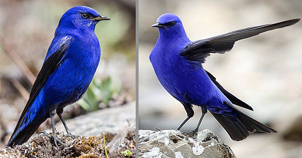 The Male Grandala Is Beautiful Bird Who Has Electric Blue And Jet-Black Feathers