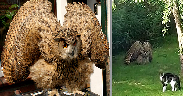 This Owl Tries To Intimidate A Family Cat By Showing How Big It Is