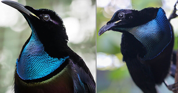Velvet Black Coat Combining With An Iridescent Blue Scarf, The Magnificent Riflebird Becomes The Star This Season