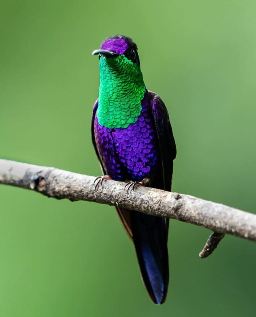 Meet The Crowned Woodnymph, An Exquisite Tiny Bird With Shimmering Iridescent Blue And Green Plumage