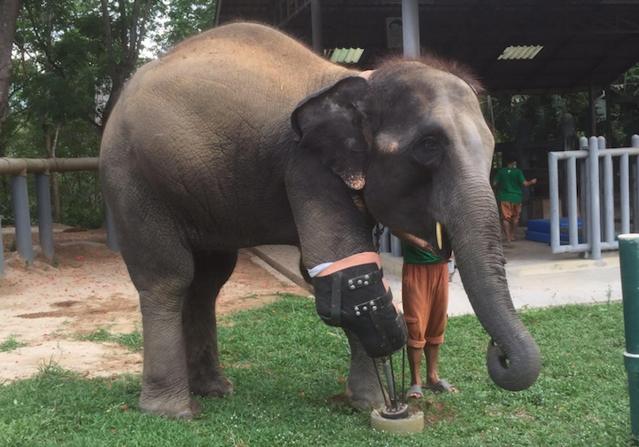 Baby Elephant Who Lost Her Leg To Land Mine Was Given A Prosthesis By A Compassionate Surgeon