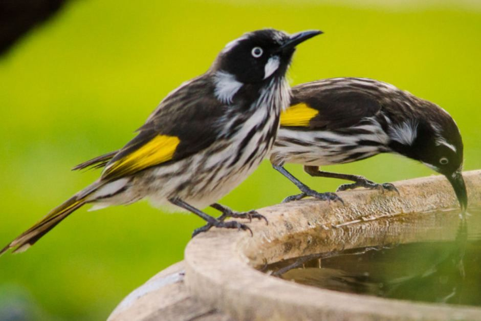 Black-Flecked Plumage With Yellow Patches On Wings, New Holland Honeyeater Becomes Standout In The World Of Birds (12 Photos)