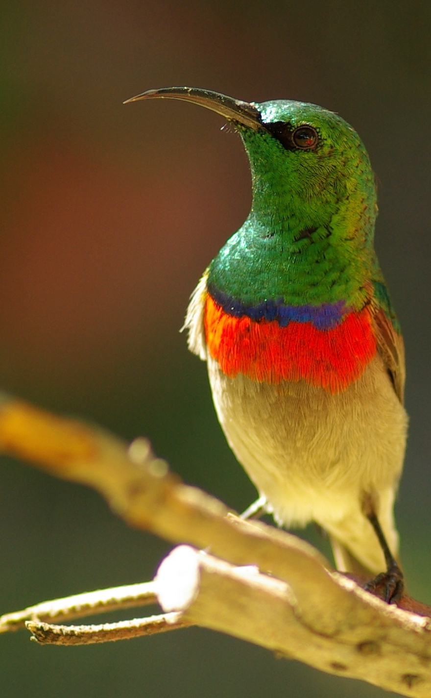 """""""Tiny Beauty"""", Southern Double-collared Sunbird Is A Star Of The Forest (8 Photos)"""