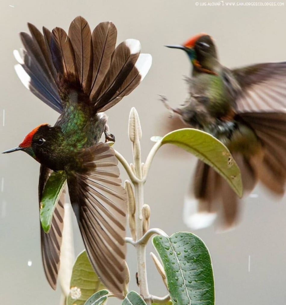 Meet Rainbow-bearded Thornbill, A Strikingly Beautiful Bird With Glittering Iridescent Feathers On Its Face (8 Pics)