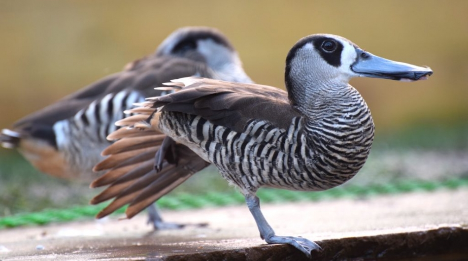 12 Most Beautiful And Unusual Ducks In The World