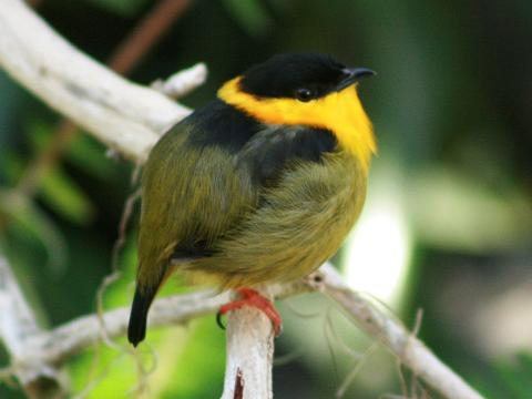 Wearing A Toroque Of Stunning Iridescent Gold Makes Tis Bird And Absolute Must See! Meet The Golden-Collared Manakin!