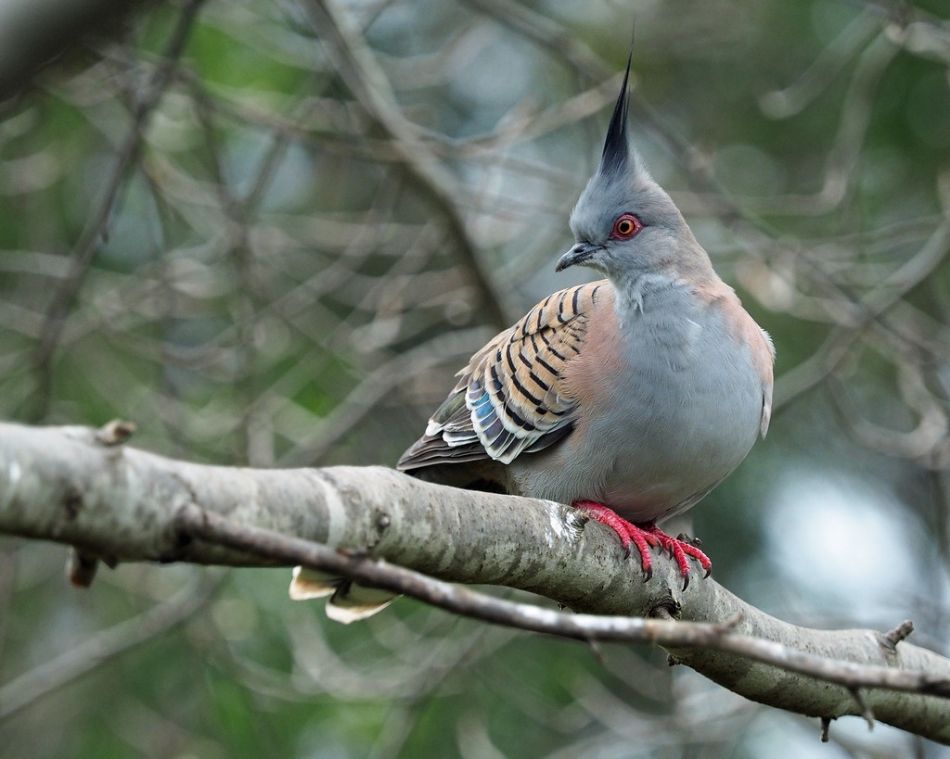 Stunning Plumage Of Crested Pigeon Stand Out In The World Of Birds (10 Pics)
