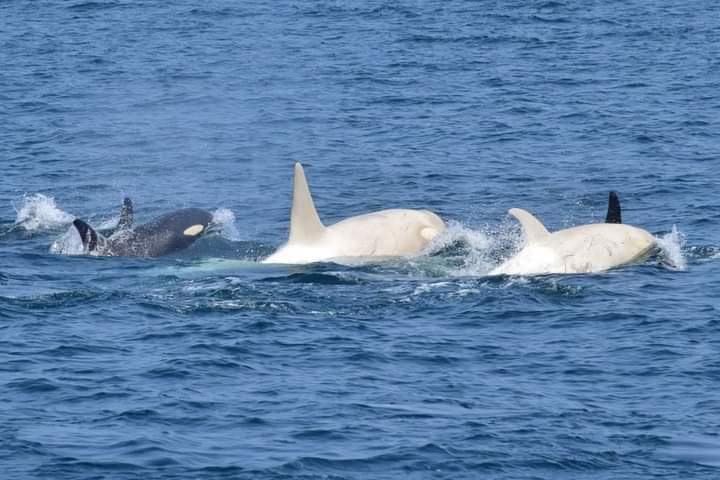 Whale-Watchers Spot Two Rare White Orcas Off the Coast of Japan