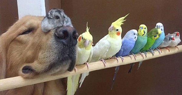 A Golden Retriever, A Hamster And 8 Birds Are Best Friends And Live In Harmony (23 Pics)