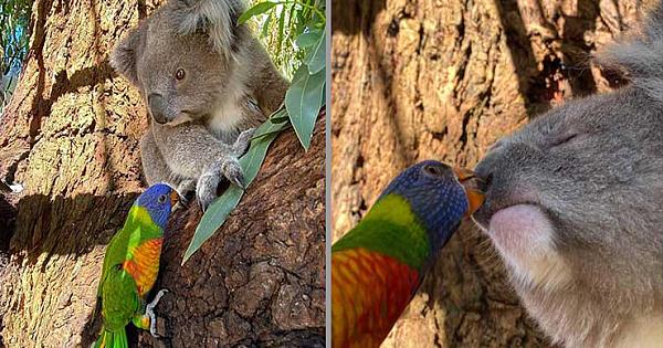 Adorable Footage Of A Rainbow Lorikeet Kissing A Rescued Koala