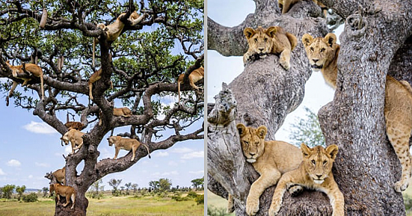 Astonishing Photos Of A Whole Lion Pride Clinging On A Tree To Get Rid Of Ground Flies