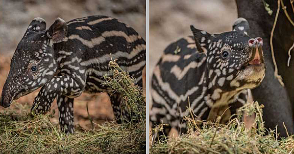 Chester Zoo Celebrates The Birth Of Rony, An Incredibly Rare And Extremely Adorable Malayan Tapir