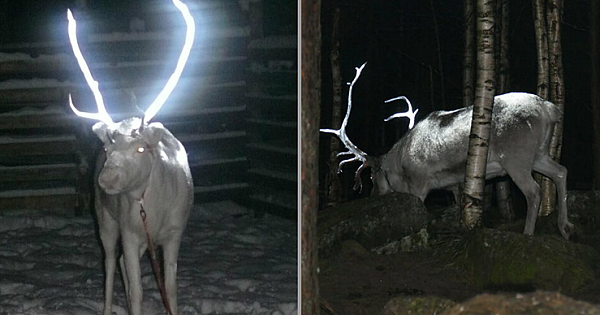 Finland Is Painting Reindeer Antlers With Reflective Paint To Avoid Auto Mishaps