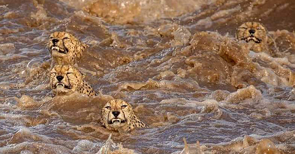 Rare Sighting Of Five Cheetah Brothers Swimming Across Flooded River In The Masai Mara