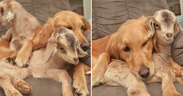 Rescued Baby Goats Consider Golden Retriever Their Mom, And Now The Family Are Inseparable