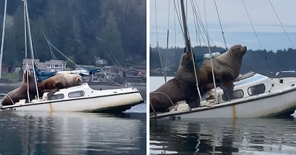 """Two Gigantic Sea Lions """"Borrow"""" Someone's Boat, And The Video Is Ridiculous"""