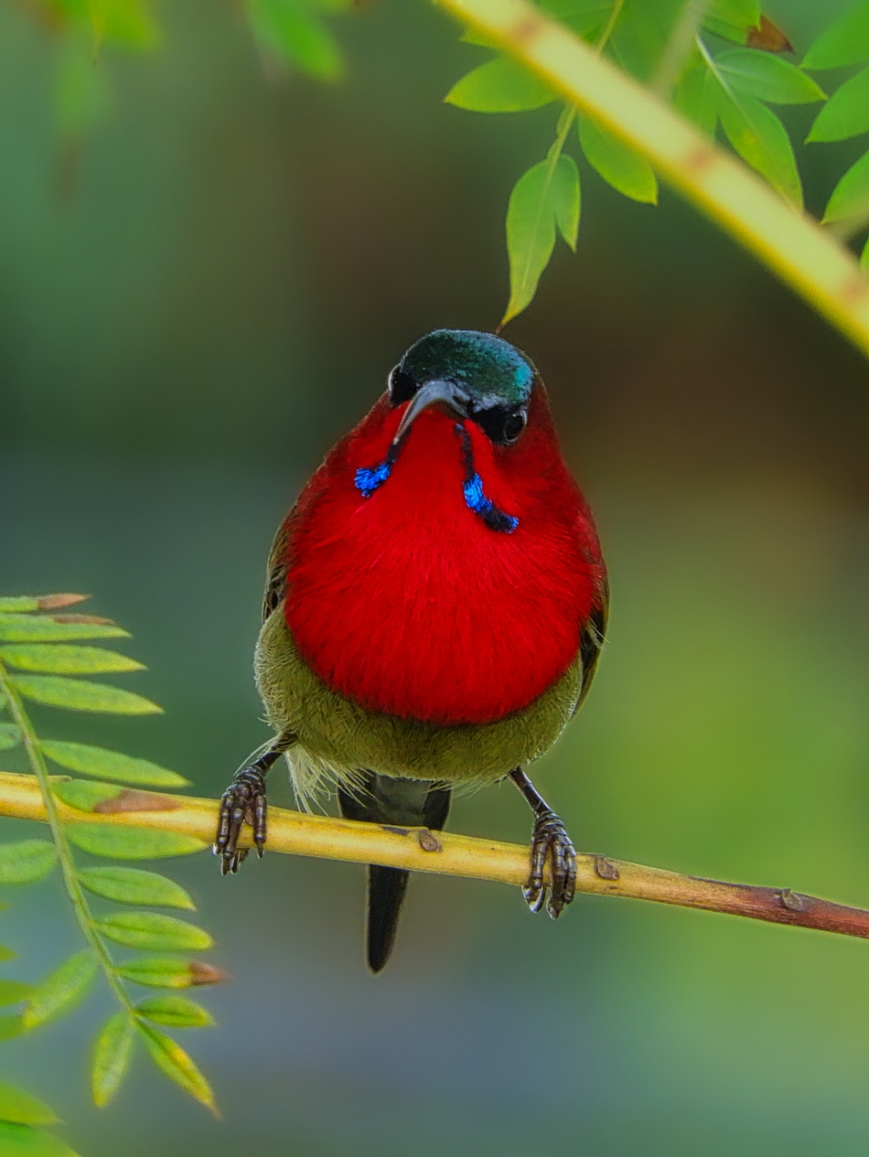 Named After Its Sweet Sound, The Crimson Sunbird Is A Precious Emerald That Shines Gorgeously
