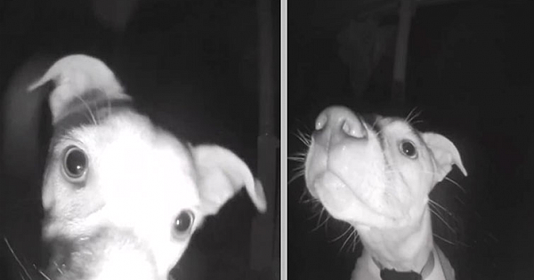 Dog Rings Doorbell At 2.A.M. After Being Accidentally Left Outside