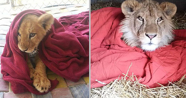 Rescued Baby Lion Can't Sleep Without Favorite Blanket, Even Now As An Adult