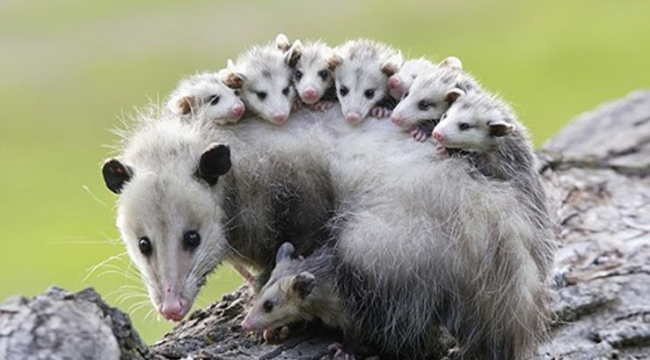 Study: Opossums are Our Best Defense Against Lyme Disease, Killing 5000 Ticks Per Week Each