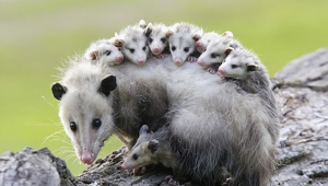 Study: Opossums are Our Best Defense Against Lyme Disease, Killing 5000 Ticks Per Week Each