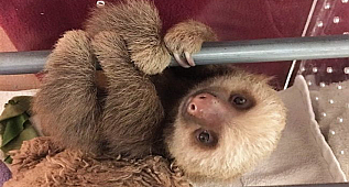 You Haven't Lived Until You've Heard Baby Sloths Having A Conversation