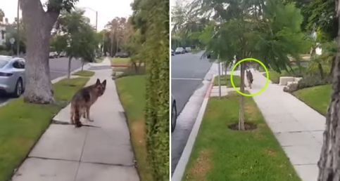 Watch This German Shepherd's Reaction When He Realizes His Owner's Not Behind Him Anymore