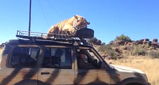 I'm too tyred to walk!Tiger falls asleep on top of a tour SUV, uses spare tire as a pillow