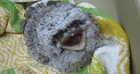 Rescued Tawny frogmouth Eats From The Hand Of Caretaker