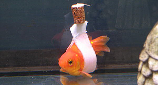 "Man Makes A Makeshift ""Wheelchair"" To Help His Disabled GoldFish Swim"
