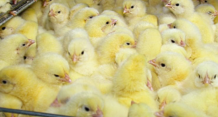 Switzerland Just Banned The Egg Industry From Grinding Male Chicks