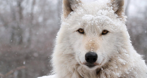 Beauty Of An Arctic Wolf Captured In Just Two Minutes